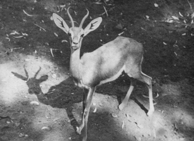 """""""Fawn in Cairo Zoo"""".  Len's writing on back"""